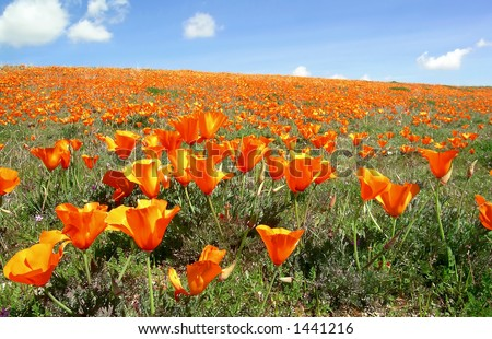 California poppies blooming near Antelope Valley against blue sky with white clouds