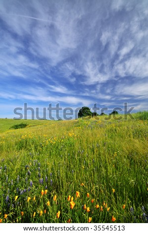California poppies in a field under a dramatic spring sky