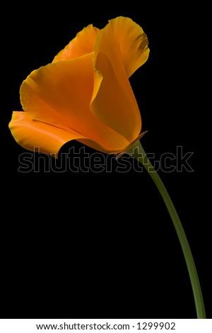 California Poppy 1 - stock photo