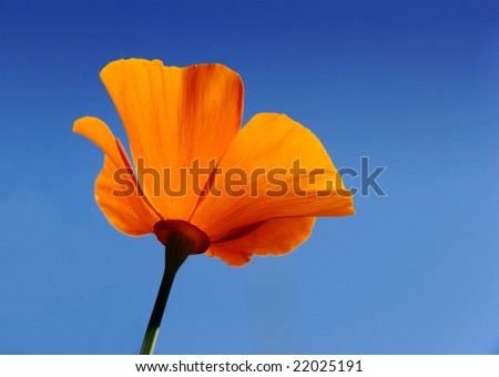 California poppy (Eschscholzia californica) with blue sky background - stock photo