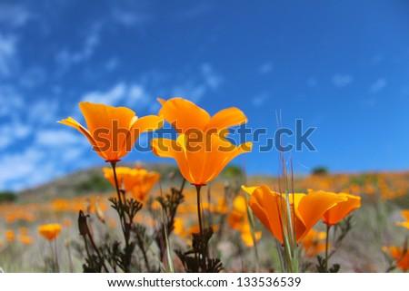 California poppy field, Big Sur, California, USA - stock photo