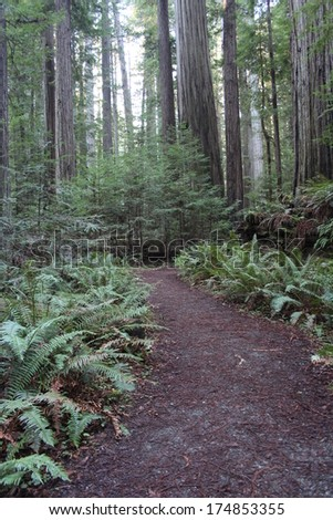California Redwood Forest Path