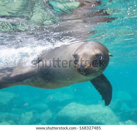 California sea lion in Baja california