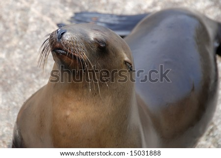 california sea lion off of a pier in monterey california