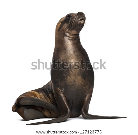 California Sea Lion, 17 years old, looking up against white background - stock photo