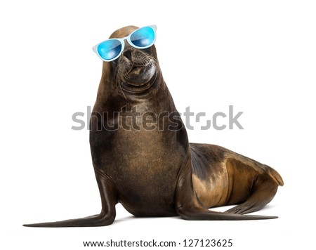 California Sea Lion, 17 years old, wearing sunglasses against white background - stock photo