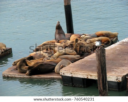 California Sea Lions at the Pier 39 Marina Resting on Wooden Platforms