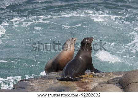 California Sea Lions on the rocks at La Jolla Cove, San Diego, California - stock photo