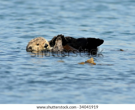 california sea otter lying on his back playing with flippers - stock photo