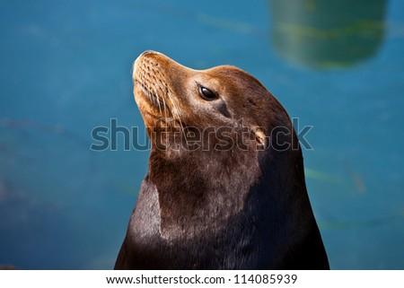 California Seal commonly called Sea Lion in Morro Bay, California, USA - stock photo