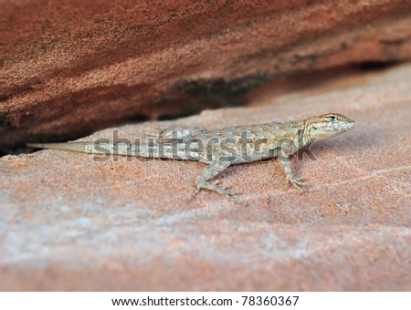 California side blotched lizard, Valley of Fire National Park, Nevada, United States