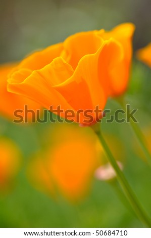 California Spring Poppy Macro Close Up with Green Background