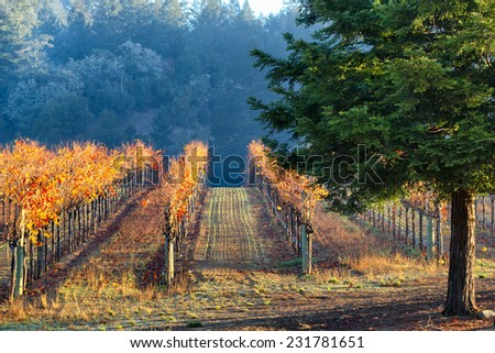 California vineyard lit by morning sun during the autumn season with brightly colored foliage - stock photo