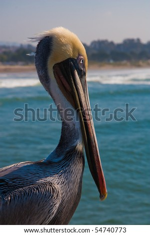 californian pelican watching over the clean water - stock photo