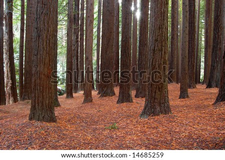 Californian Red Woods - stock photo