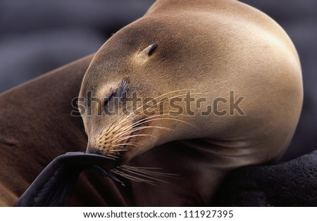 Californian sea lion, Galapagos, Ecuador