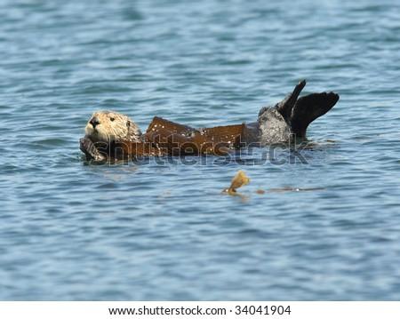californian sea otter adult in kelp - stock photo