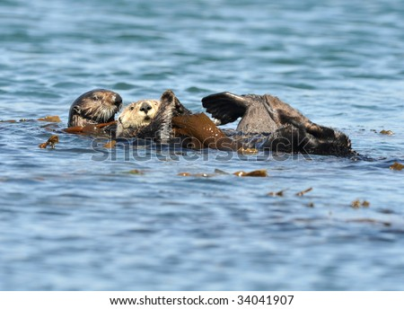 californian sea otter adult pair in kelp, big sur, california, united states. ocean sea water scene with amphibian aquatic mammal cute creature similar beaver - stock photo