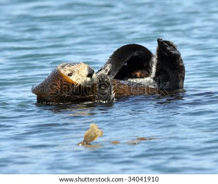 californian sea otter wrapped in kelp, big sur, california, united states. ocean sea beaver mammal water - stock photo