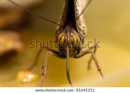 caligo eurilochus face closeup 3:1 lifesize macro - stock photo
