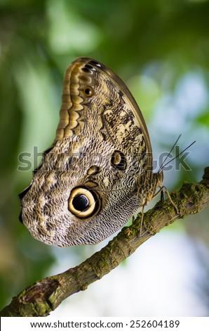 Caligo eurilochus - owl butterfly - stock photo