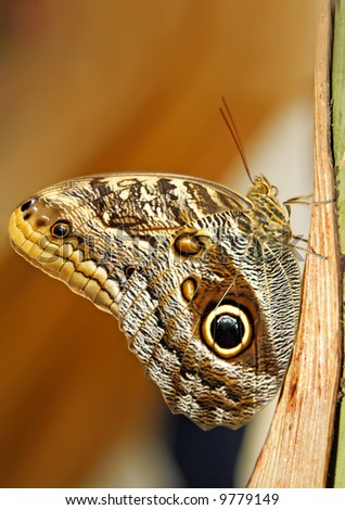 Caligo memnon butterfly - stock photo