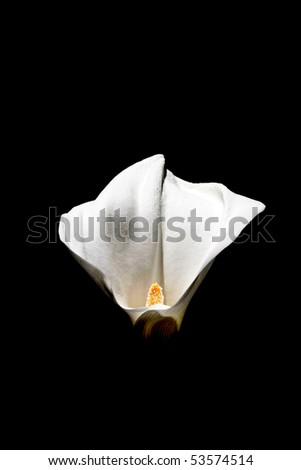 Calla flower isolated on black background - stock photo
