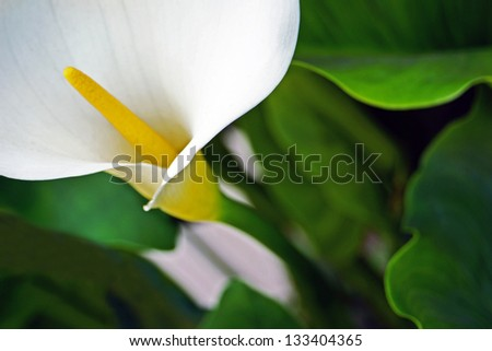 Calla lily - stock photo