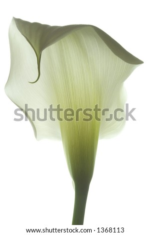 calla Lily 23 - stock photo