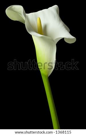 calla Lily 25 - stock photo