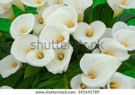 Calla lily flowers at the garden in Taiwan. - stock photo