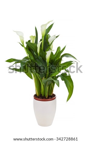 Calla lily in a pot, isolated on white - stock photo