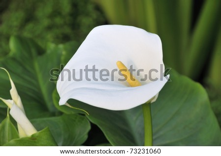 Calla lily in bloom - stock photo