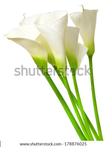 calla lily isolated on white background - stock photo