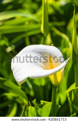 Calla lily, many beautiful white flowers blooming in the garden in spring, arum lily, gold calla - stock photo