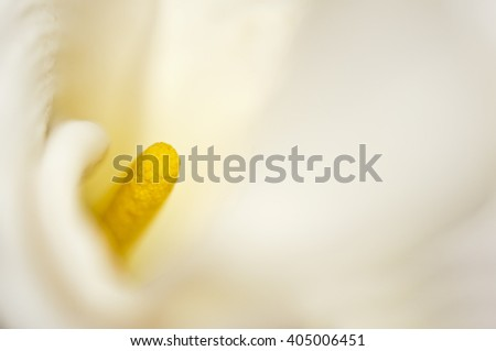 Calla lily pistil close up - stock photo