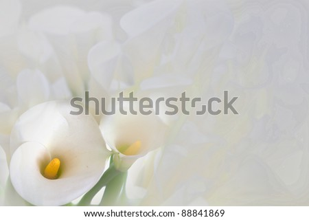 Calla Lily with black background  - stock photo