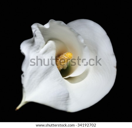 calla white flower black petal yellow one