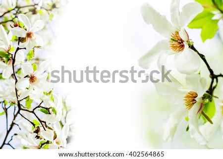 called star magnolia wildly blossoming during spring time in Europe on white background