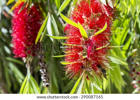 Callistemon, a genus of ornamental shrub in the family Myrtaceae, endemic to Australia. Commonly referred as bottlebrushes because of their cylindrical flowers resembling a traditional bottle brush - stock photo