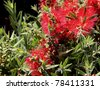 Callistemon bottle-brush - stock photo