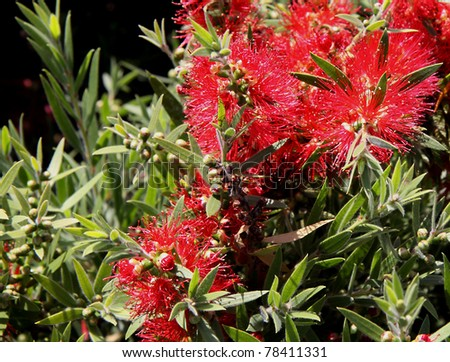 Callistemon bottle-brush