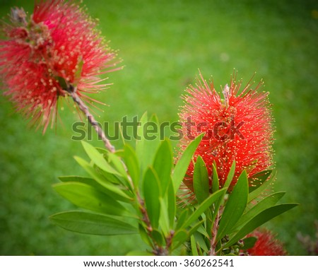 Callistemon flower with green grass on background, in Italy
