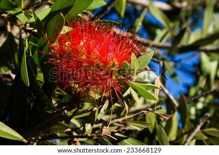 Callistemon Myrtaceae - stock photo