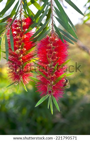 Callistemon red bottle brush flowering shrub.