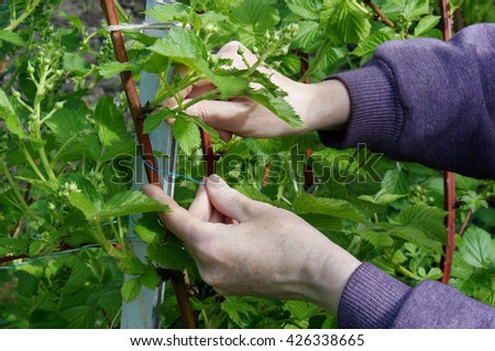 Calloused working hands of the farmer carefully caress gentle spring branches of garden blackberry against the blue sky