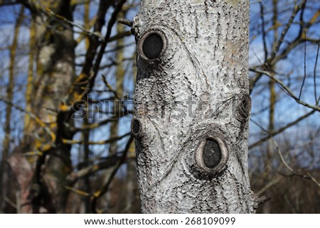 Callus tissue grown over wounds after pruning aspen branches. - stock photo