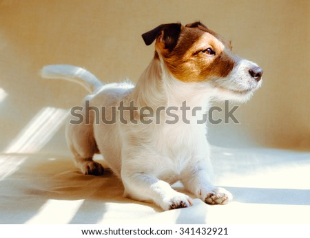 Calm dog waiting you at home near window. Jack Russell Terrier lying down - stock photo