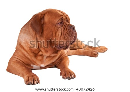 calm dogue de bordeaux lying  on white background