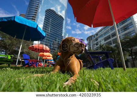 calm golden vizsla dog laying in the green grass in houston texas downtown